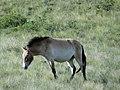 Mongolian Wild Horse (8367798393).jpg