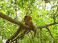 Monkey delhi.jpg