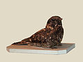 Montane Nightjar specimen RWD.jpg
