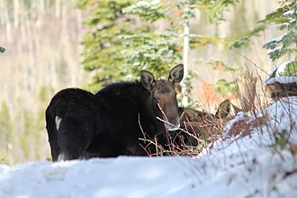 Rabbit Ears Pass - A cow and bull moose on Rabbit Ears Pass