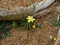 Moraea bituminosa flower (2).JPG