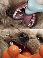 Morkie puppy retained teeth.jpg
