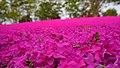 Moss phlox field in Tonami Tulip Park.jpg
