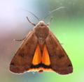 Moth Large Yellow Underwing - Noctua pronuba (28814950448).png