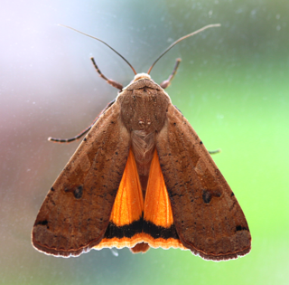 Large yellow underwing Species of moth