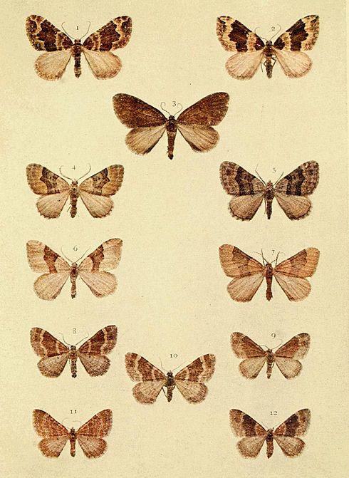 Moths of the British Isles Series2 Plate072.jpg