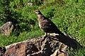 Mount Rainier - September 2017 - White-tailed ptarmigan 06.jpg