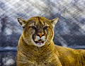 Mountain Lion at The Magnetic Hill Zoo, Moncton, New Brunswick, (39567414855).jpg