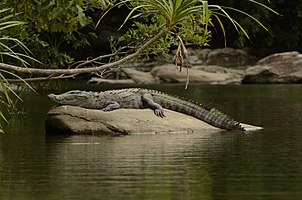 Mugger crocodile (Crocodylus palustris) from Ranganathittu Bird Sanctuary JEG4284.jpg
