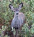 Mule Deer 1 (7979506147).jpg