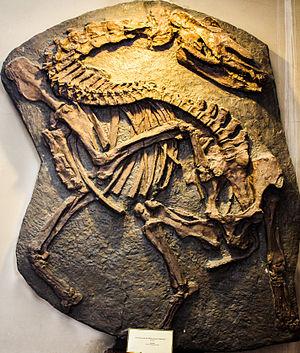 Palaeotherium - P. magnum skeleton
