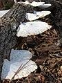 Mushrooms Company Mill Trail Umstead SP (000117)-1 (3347265232).jpg