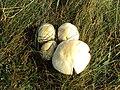 Mushrooms on Hilbre Island.JPG
