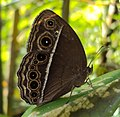 Mycalesis mineus - Dark-branded Bushbrown 05.JPG