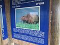 Myocastor coypus in Hula Valley ovedc 01.JPG