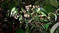 Myrcia sylvatica (Mey.) DC. (16141724820).jpg