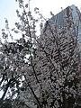 NAKAMARUKO tower block and cherry blossoms - panoramio.jpg