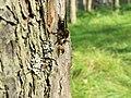 NP TARA - Grabljiva muva Laphria 02.jpg