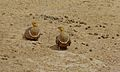 Namaqua Sandgrouses (Pterocles namaqua) (6451898419).jpg