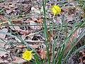 Narcissus bulbocodium Habitus 2011-2-27 Fuencaliente SierraMadrona.jpg