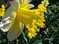 Narcissus pseudonarcissus 4.JPG