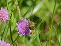 Narrow-bordered Bee Hawkmoth (Hemaris tityus) (14035873268).jpg