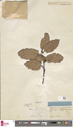 Naturalis Biodiversity Center - L.1567782 - Quercus crassifolia Humb. and Bonpl. - Fagaceae - Plant type specimen.jpeg