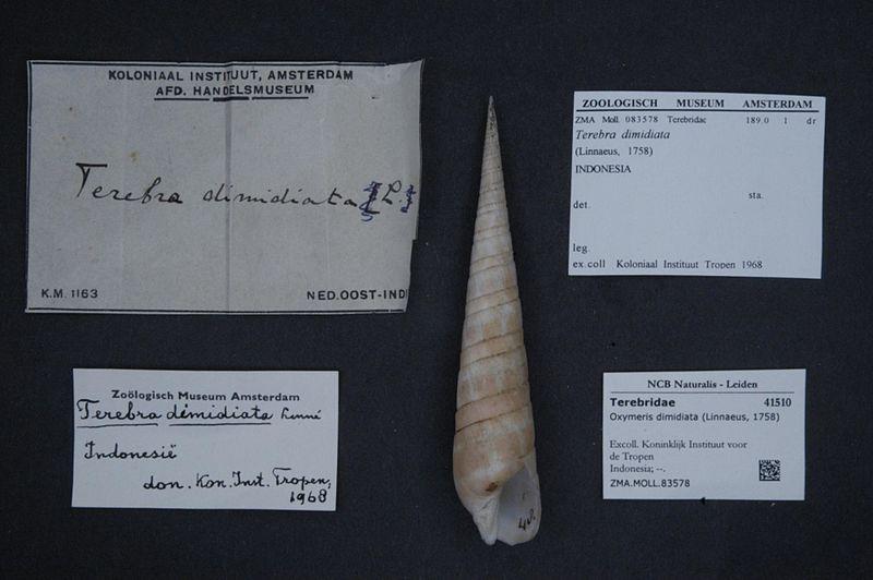 File:Naturalis Biodiversity Center - ZMA.MOLL.83578 - Oxymeris dimidiata (Linnaeus, 1758) - Terebridae - Mollusc shell.jpeg