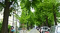Naturdenkmal Ginkgos Bachstraße Neustadt 4.JPG