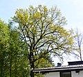 Naturdenkmal Stiel-Eiche am Wiesensteig in St. Martin (VS 12)a.JPG