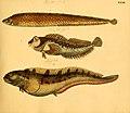 Naturgeschichte in Bildern mit erläuterndem Text (Taf. XXXII) (6058660921).jpg