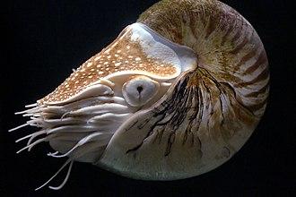 Chambered nautilus - Image: Nautilus pompilius (detail)