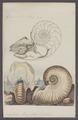 Nautilus pompilius - - Print - Iconographia Zoologica - Special Collections University of Amsterdam - UBAINV0274 091 03 0015.tif