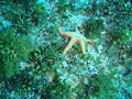 Nectria macrobrachia Large-plated seastar P1021098.JPG