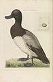 Nederlandsche vogelen (KB) - Aythya marila (269pl).jpg