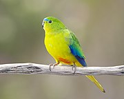 A light-green parrot with a green-yellow underside, and blue wingtips and marks above the beak