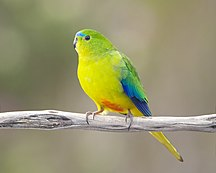 Hunter Island-Birds-Neophema chrysogaster male - Melaleuca