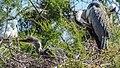 Nesting Grey Heron (19155248590).jpg