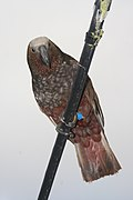Nestor meridionalis -Wellington -New Zealand-8c.jpg