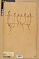 Neuchâtel Herbarium - Alyssum alyssoides - NEU000021930.jpg