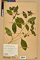 Neuchâtel Herbarium - Impatiens noli-tangere - NEU000019935.jpg