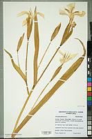 Neuchâtel Herbarium - Iris pseudacorus - NEU000099513.jpg
