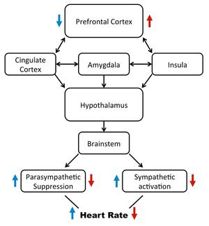 Heart rate variability - Image: Neurovisceral integration model