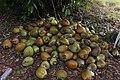 Nigerian coconut.jpg