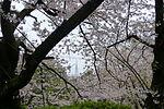 Nishi park Sakura.JPG
