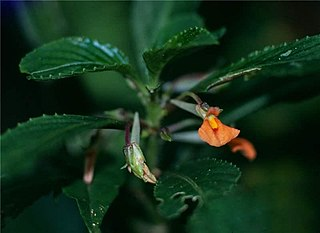 <i>Noisettia</i> Genus of flowering plants in Eudicot family Violaceae
