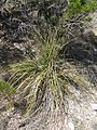 Nolina lindheimeriana fh 0523.20 TX. In Zentral Texas A.jpg