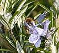 Nomada species - Flickr - gailhampshire (15).jpg