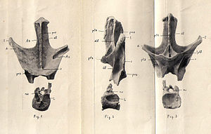 Franz Nopcsa von Felső-Szilvás - Vertebra of Nopcsaspondylus, a sauropod dinosaur named after the baron in 2007. Other extinct animals named after him include Elopteryx nopcsai, Tethysaurus nopcsai, Hyposaurus nopcsai, and Mesophis nopcsai