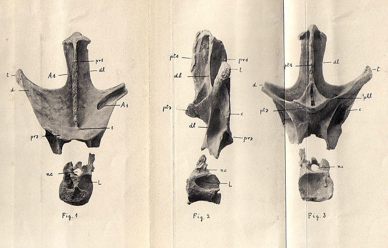 File:Nopcsaspondylus holotype.jpg